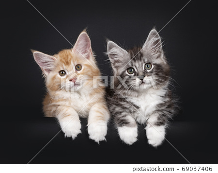 Duo Miane Coon cat kittens on black background 69037406