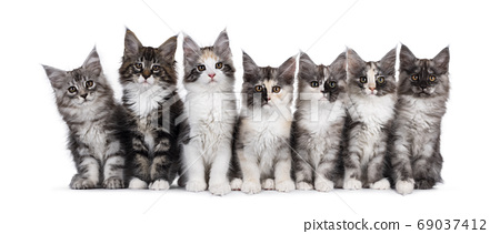 Seven Maine Coon kittens on white background 69037412
