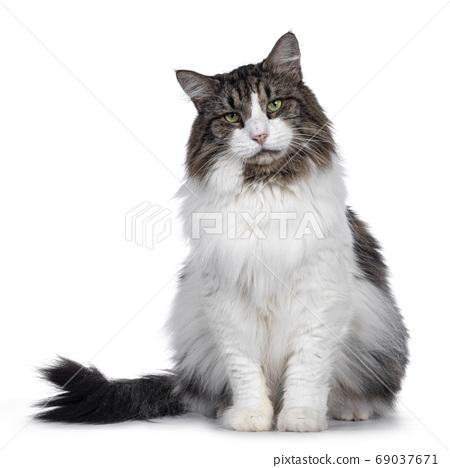 Senior Norwegian Forestcat on white background 69037671