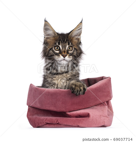 Classic tabby kitten on white background 69037714