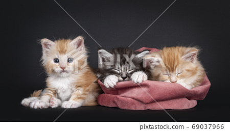 Five week old Maine Coon kittens on black 69037966