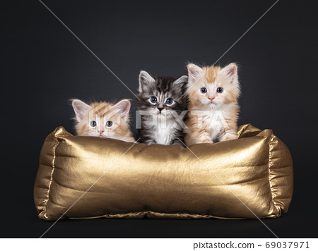 Five week old Maine Coon kittens on black 69037971