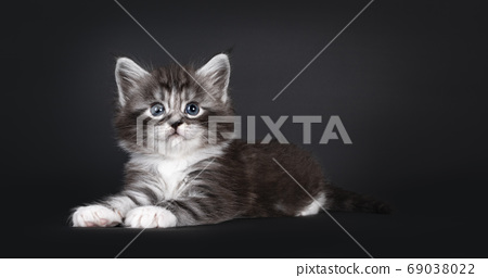 Five week old Maine Coon cat on black background 69038022