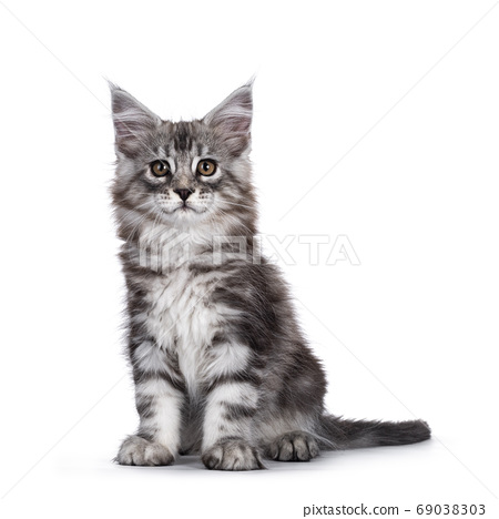 Silver smiling Maine Coon kitten on white 69038303