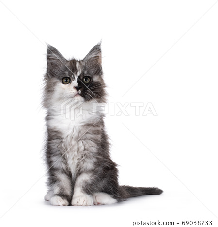 Baby Maine Coon cat on white background 69038733