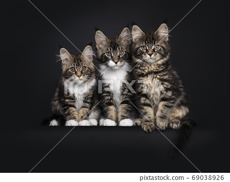Row black tabby Maine Coon kittens on black 69038926