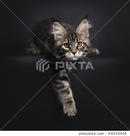 Black tabby Maine Coon kitten on black background 69038946