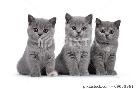 Group British Shorthair kittens on white 69038961