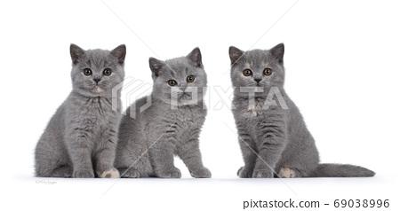 Group British Shorthair kittens on white 69038996