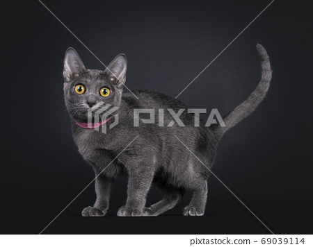 Pretty Korat cat kitten on black background 69039114