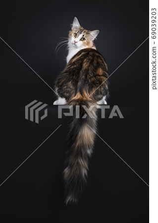 Young adult Norwegian Forestcat on black 69039203