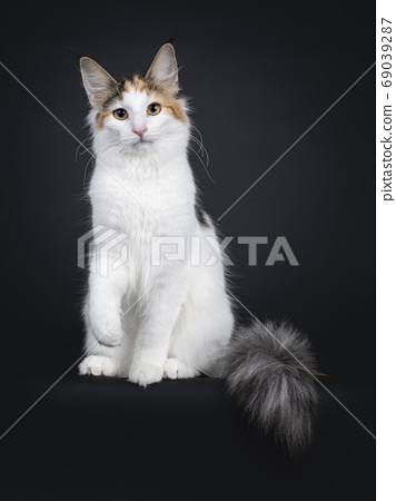 Young Norwegian Forestcat on black background 69039287