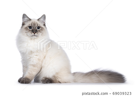 Neva Masquerade cat on white background 69039323