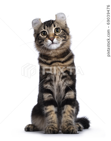 American Curl kitten on white background 69039476