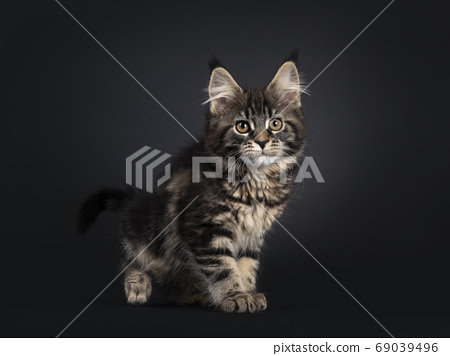 Black tabby Maine Coon cat on black background 69039496