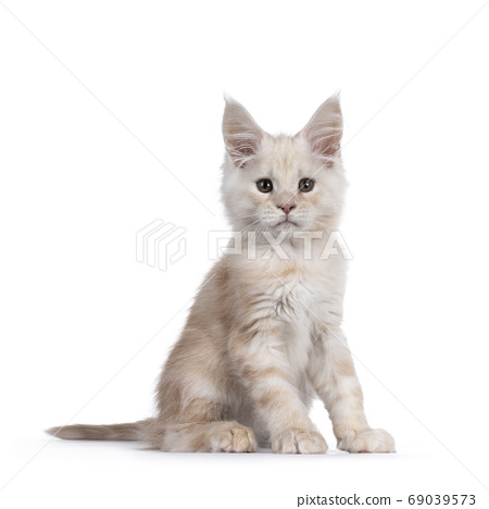 Red shaded Maine Coon cat on white background 69039573