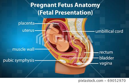 Pregnant fetus anatomy diagram 69052970