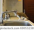 兩個月大的Sabatra小貓第一次從廚房水龍頭里喝水 69053238