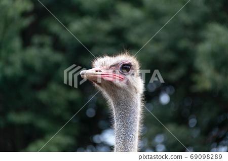 鴕鳥的小臉[成長] 69098289