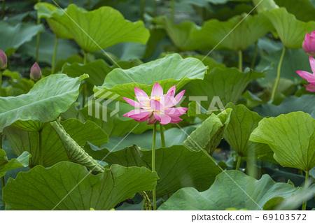 Lotus 69103572