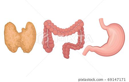 Pancreas and Large Intestine as Human Internal Body Part Vector Set 69147171