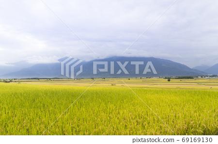 花東縱谷最美的麗景致金黃色稻浪 69169130