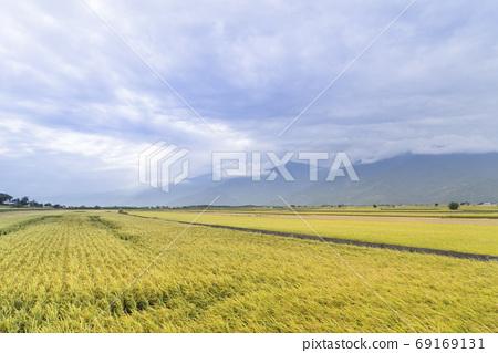 花東縱谷最美的麗景致金黃色稻浪 69169131