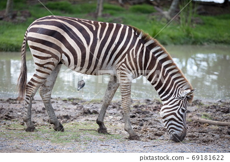 A zebra eating grass in the daytime near a swamp 69181622