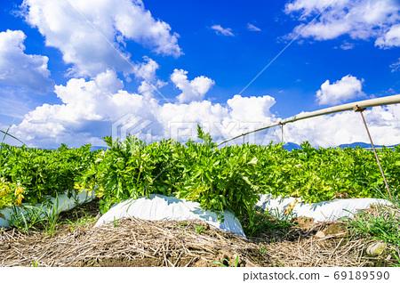 日本夏季產量最高的原村芹菜田 69189590