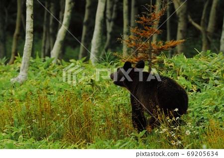 Shiretoko's Bear 69205634