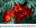 Branch with bright red rowanberries or ashberry on an ash tree with the background of green tree leaves in a wild forest. 69209354