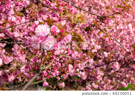pink sakura blossom above the green grass. nature beauty in spri 69230051