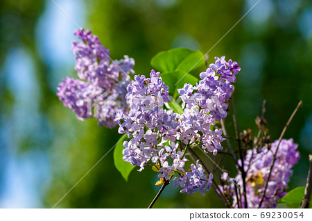 lilac blossom. beautiful scenery in the garden. sunny nature bac 69230054