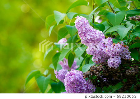 lilac blossom. beautiful scenery in the garden. sunny nature bac 69230055