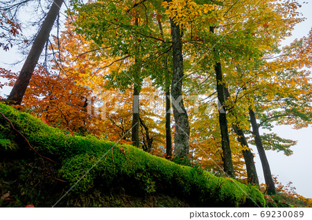 beech trees in colorful foliage. misty forest scenery. colorful 69230089