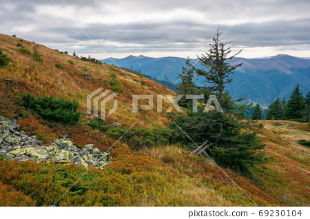 spruce forest on the hillside meadow. beautiful mountain landsca 69230104