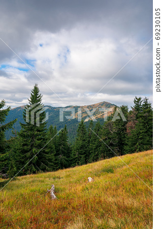 spruce forest on the hillside meadow. beautiful mountain landsca 69230105