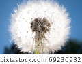 Dandelion with seeds with light. Close up view 69236982