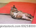 在一個日式房間裡修飾的兩個月大的野雞小貓 69258000