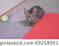 一隻兩個月大的野雞虎斑貓咪在日式房間裡玩 69258001