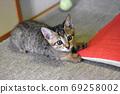 一隻兩個月大的野雞虎斑貓咪在日式房間裡玩 69258002