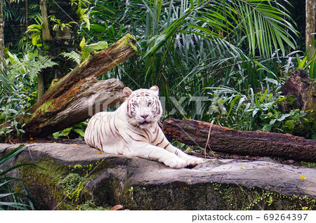 Singapore Zoo's White Tiger 69264397