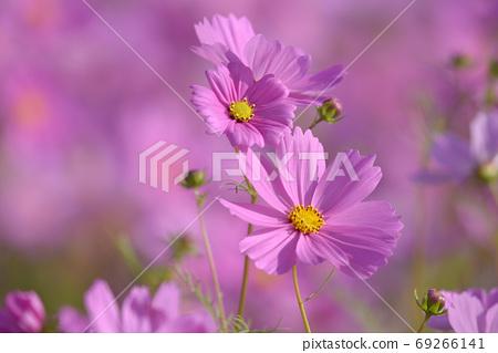 春樹天樹,浪漫的香味花紅色的花朵盛開。 69266141