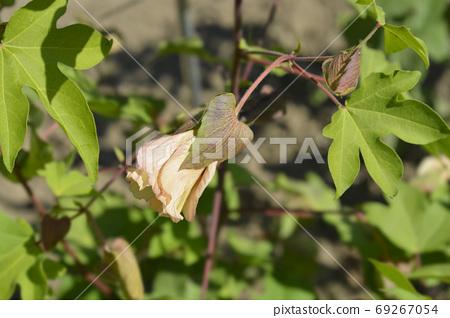 Levant cotton 69267054