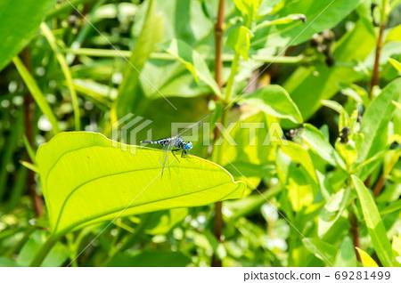 綠葉上的藍蜻蜓 69281499