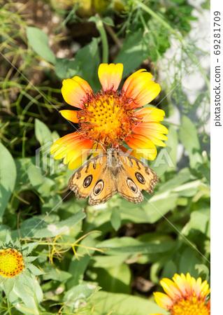 花朵上的孔雀蛺蝶 69281709