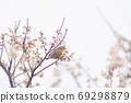 河津櫻花和mezzo 69298879