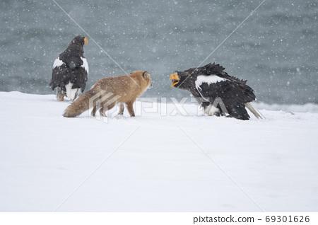여우를 위협하는 독수리 69301626
