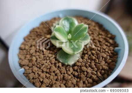 多肉植物-白熊童子 69309383