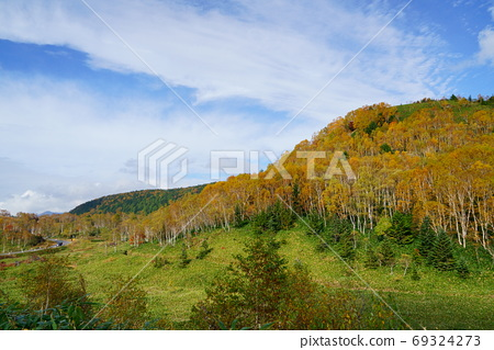 Yellow leaves of Shirakaba, Sasahara and Yudai Aozora on the flatbed of Shiga Kogen in autumn 69324273